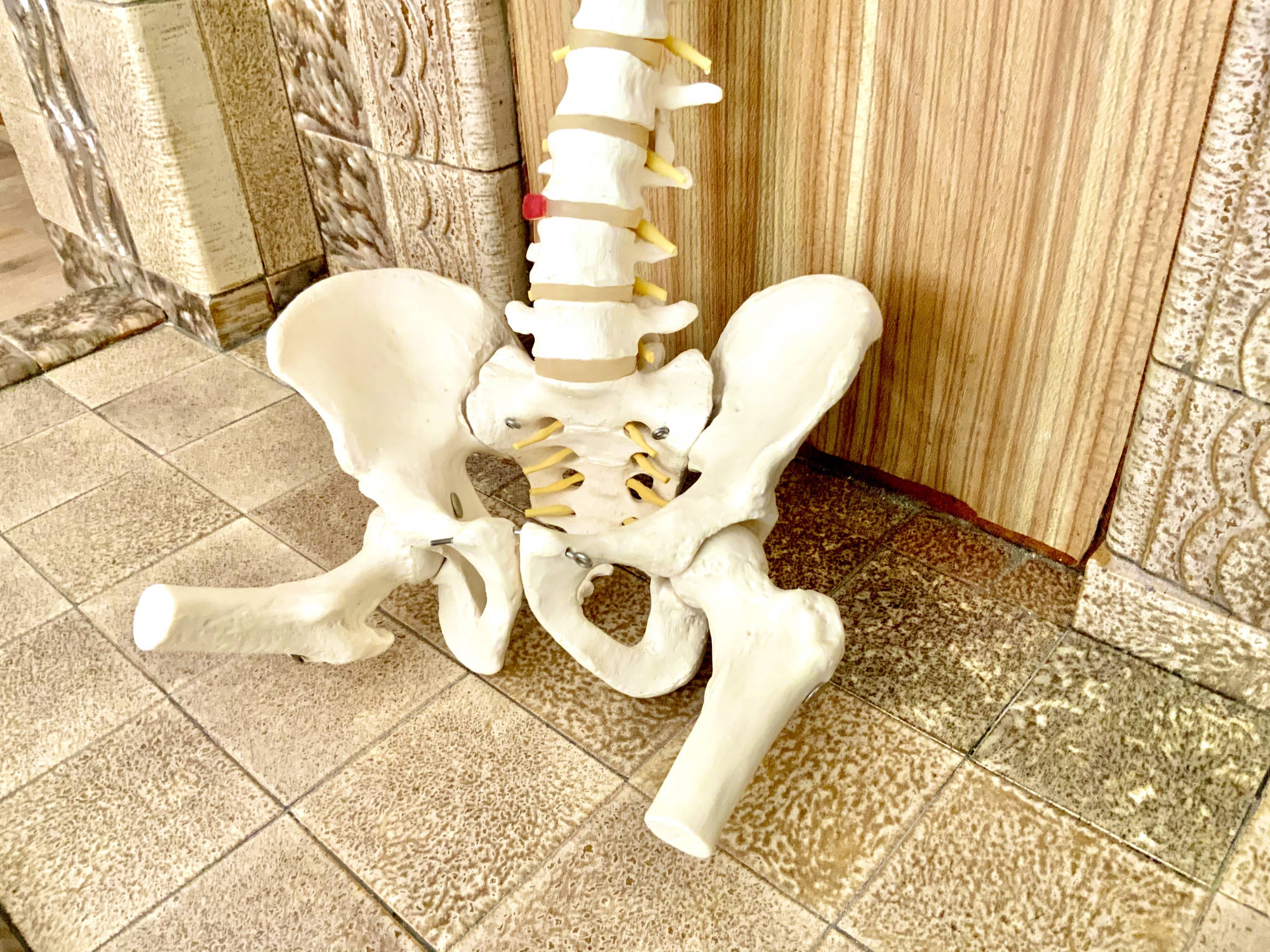 osteopathy spine model